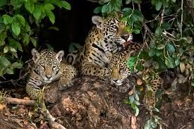 Jaguars face serious threat due to booming ayahuasca tourism industry