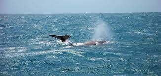 Bahia coast attracts thousands of tourists for humpback whale watching