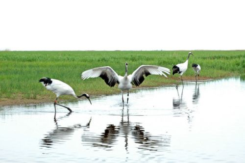 20 red-crowned cranes released into wild in China nature reserve