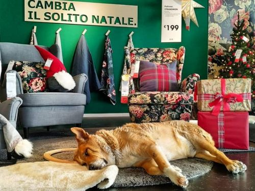 An IKEA store in Italy is letting stray dogs inside to warm up during the winter and the pictures will warm your heart