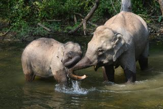 Conservation of Asian elephants in Yunnan