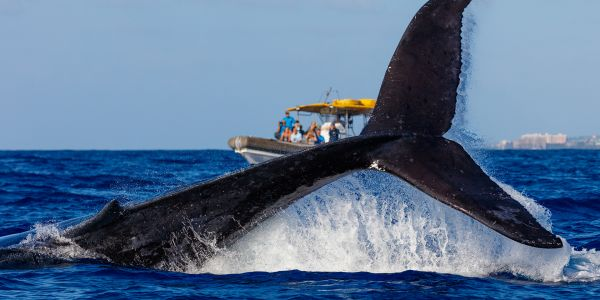 It's Not a Fluke: Hawaii Really Is the Best Place to Spot Whales