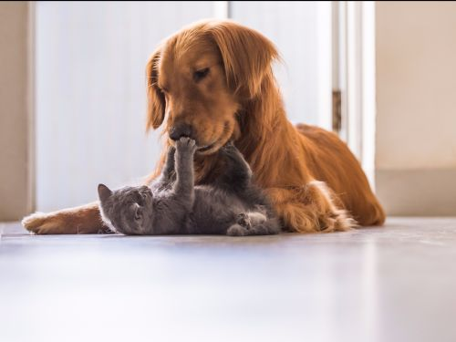 12 of the most cat-friendly dog breeds, according to experts and owners