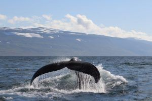 Fred.Olsen to partner with marine wildlife charity ORCA on inaugural whale-watching Iceland cruise