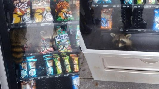 A raccoon got stuck in a vending machine while 'committing a burglary'