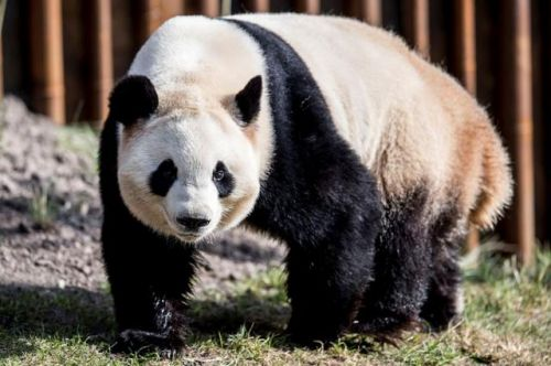 Copenhagen Zoo welcomes two pandas from China