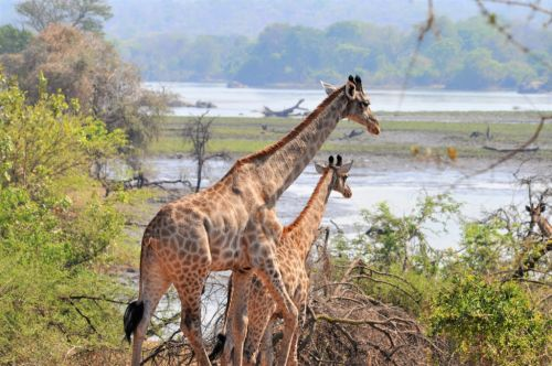 Malawi receives Giraffe into Majete with historic translocation