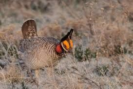 Kansas is protecting the lesser prairie chicken as an ecotourism attraction