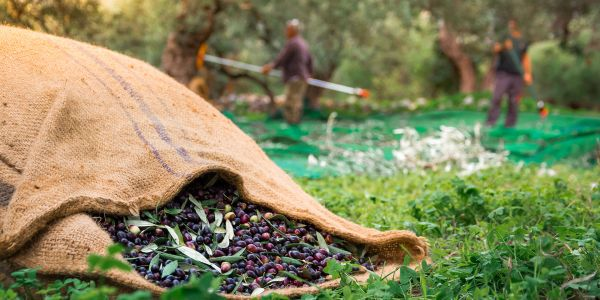 Celebrate the Traditional Olive Harvest in Greece