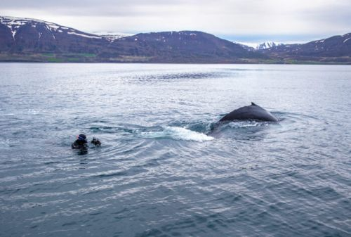 Dive With Humpback Whales in Black Tomato's New Iceland Itinerary